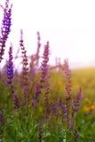 开花在域的淡紫色花在夏天期间 免版税图库摄影