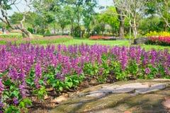 开花在域的淡紫色花在夏天期间 图库摄影