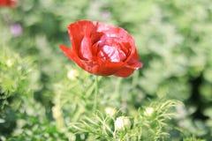 开花在夏天或春日机智的美丽的红色花 免版税图库摄影