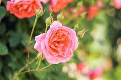 开花在夏天或春日的桃红色玫瑰与拷贝空间 库存图片