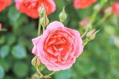 开花在夏天或春日的桃红色玫瑰与拷贝空间 免版税库存照片