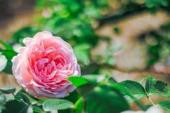 开花在夏天或春日的桃红色玫瑰与拷贝空间 免版税图库摄影