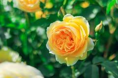 开花在夏天或春日的黄色玫瑰与拷贝spac 免版税库存照片