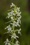 开花在夏天沼泽的一朵美丽的罕见的一点蝴蝶兰花 免版税图库摄影