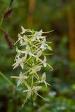 开花在夏天沼泽的一朵美丽的罕见的一点蝴蝶兰花 免版税库存照片