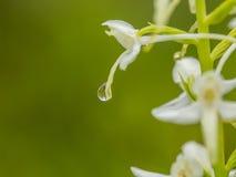 开花在夏天沼泽的一朵美丽的罕见的一点蝴蝶兰花 图库摄影