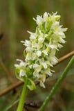 开花在夏天沼泽的一朵美丽的罕见的白色野生兰花 图库摄影