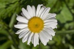 开花在夏天的一朵白色春黄菊母菊属白色庭院雏菊以绿草为背景 关闭 图库摄影