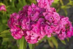 开花在夏天的桃红色甜威廉 免版税库存照片