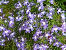 开花在夏天的紫罗兰色花 免版税图库摄影