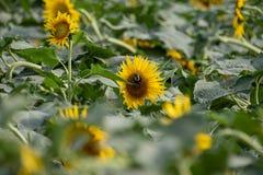 开花在夏天领域的向日葵 免版税库存图片