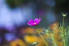 开花在夏时的桃红色波斯菊花在庭院里在波兰 免版税图库摄影