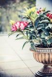 开花在大阳台或阳台的缸大农场主的俏丽的杜鹃花 从事园艺用杜鹃花的露台容器 免版税库存照片