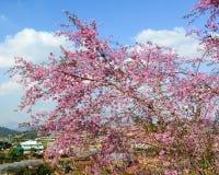 开花在大叻,越南的樱桃 免版税库存图片