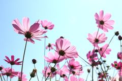 开花在天空的美丽的波斯菊花 免版税图库摄影