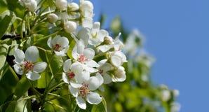 开花在天空背景的苹果树 免版税库存照片