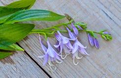 开花在委员会的会开蓝色钟形花的草 免版税库存照片