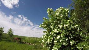 开花在宅基的Guelder玫瑰在晴朗的多云天,时间间隔4K 股票录像