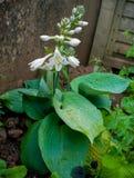 开花在家庭菜园的玉簪属植物植物 免版税库存照片