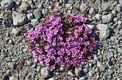 开花在寒带草原的紫色Saxifrage虎耳草属植物oppositifolia在夏天 免版税库存图片