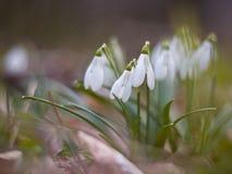 开花在山坡的白色snowdrops 库存图片