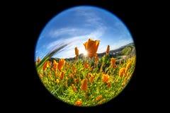开花在山坡的鸦片 免版税库存图片