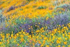 开花在山坡的鸦片 库存图片