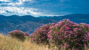 开花在山坡, Selcuk,土耳其的夹竹桃 库存照片