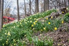 开花在山坡-红色桥梁的黄水仙 免版税库存图片