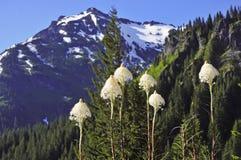 开花在山的Beargrass 库存照片