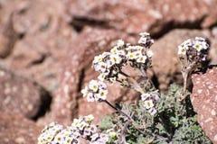 开花在岩石中的高山错误candytuft (Smelowskia ovalis)野花在高处,拉森火山国家公园, 库存照片