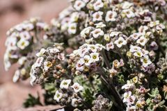 开花在岩石中的高山错误candytuft (Smelowskia ovalis)野花在高处,拉森火山国家公园, 免版税库存照片