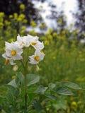 开花在庭院土豆布什里  图库摄影