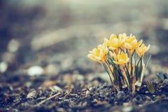 开花在庭院或公园,室外自然里的美丽的春天黄色番红花 库存照片