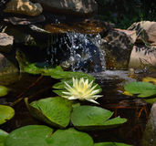 开花在庭院池塘的得克萨斯黎明荷花 免版税库存照片