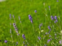 开花在庭院的淡紫色花 免版税库存图片