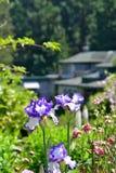开花在庭院背景的紫罗兰色和白色虹膜花 免版税库存图片