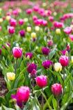 开花在庭院花蕾的五颜六色的郁金香花 库存照片
