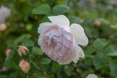 开花在庭院里上升了在一个晴天 大卫奥斯汀罗斯柔和的Hermione 库存图片