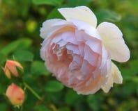 开花在庭院里上升了在一个晴天 大卫奥斯汀起来了 库存图片
