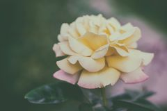 开花在庭院里的一朵黄色玫瑰的特写镜头,被定调子的照片 图库摄影