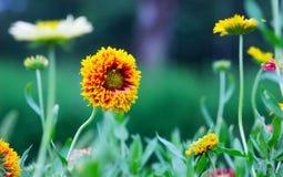 开花在庭院里的万寿菊花 库存照片