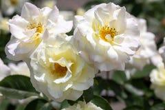开花在庭院里的三朵白色'梅西百货公司自豪感'杂种灌木玫瑰特写镜头  免版税库存图片