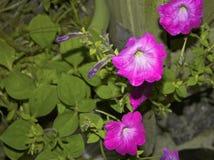开花在庭院里的五颜六色的喇叭花花 免版税库存照片