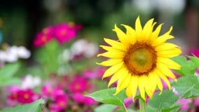 开花在庭院里的向日葵 背景蓝色云彩调遣草绿色本质天空空白小束 股票录像