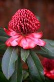 开花在庭院里的壮观的Waratah 免版税图库摄影