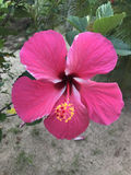 开花在庭院里的大美丽的桃红色木槿 库存照片