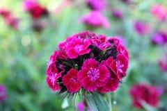 开花在庭院里的康乃馨 图库摄影