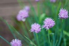 开花在庭院里的新鲜的春天葱 库存照片