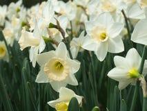 开花在庭院里的春天白色黄水仙 库存照片